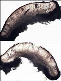 Sarcogyne fallax image