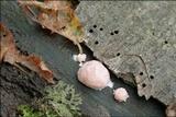 Reticularia splendens image