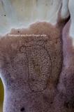 Cymatoderma elegans image
