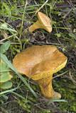 Suillus bovinus image