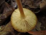 Marasmius strictipes image