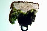 Caloplaca luteominia image