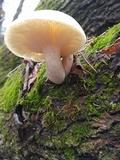 Hypsizygus marmoreus image