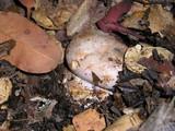 Cortinarius largus image