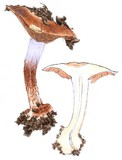 Cortinarius sodagnitus image