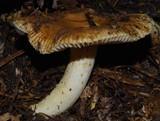 Russula acrolamellata image