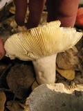 Russula parazurea image