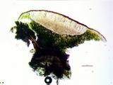 Acarospora americana image