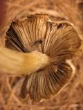 Inocybe brunnescens image