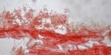 Mycena rosella image
