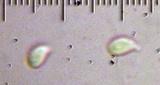 Gymnopus ocior image