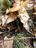 Geoglossum nigritum image