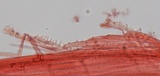 Mycena californiensis image