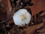 Tricholoma stiparophyllum image