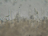Mycena algeriensis image