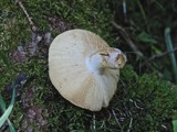 Russula alutacea image