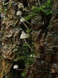 Mycena subcucullata image