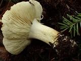 Tricholoma leucophyllum image