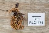 Glomus coremioides image