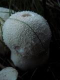 Lycoperdon curtisii image