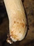 Russula novae-zelandiae image