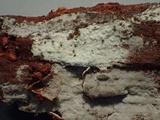 Hyphoderma capitatum image