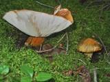 Tricholoma aurantium image