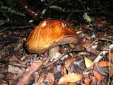 Leccinum manzanitae image