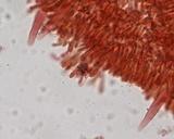 Mycena quiniaultensis image