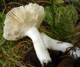 Russula nitida image