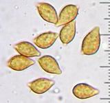 Phaeocollybia attenuata image
