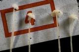 Hemimycena tortuosa image