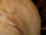 Tricholoma focale image