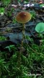 Galerina dicranorum image