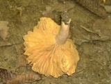 Lactarius marylandicus image