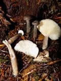Lactarius pseudomucidus image