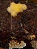Tremella encephala image