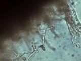 Phleogena faginea image