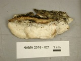Gloeoporus dichrous image