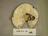 Russula variata image