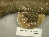 Daedaleopsis septentrionalis image