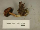 Boletus longicurvipes image