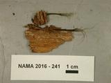 Xylaria tentaculata image