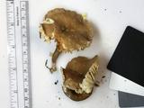 Lactarius gerardii image