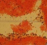 Agaricus pilatianus image