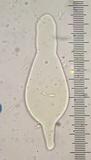 Pholiota velaglutinosa image