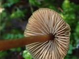 Entoloma lucidum image