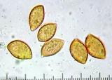 Cortinarius cylindripes image