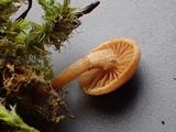 Galerina badipes image