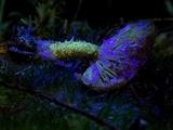 Pholiota flammans image
